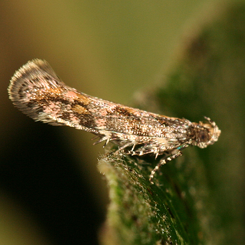 small moth - Aristotelia rubidella