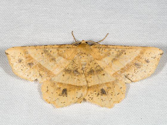 Mottled Euchlaena - Euchlaena tigrinaria - male