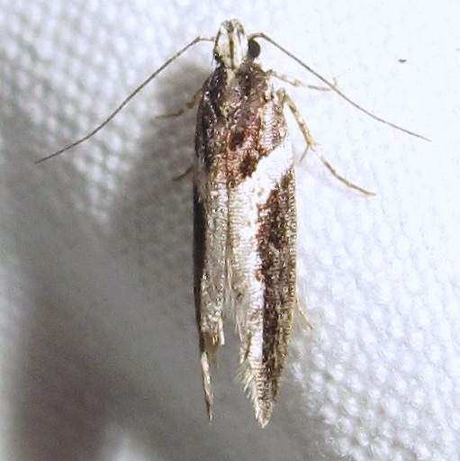 Hodges #1858 - Telphusa longifasciella