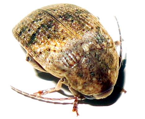 Locust Seed Borer  - Amblycerus robiniae