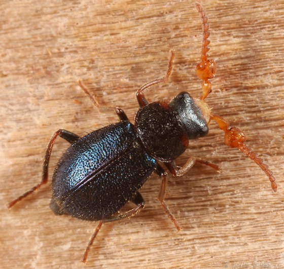 soft-winged flower beetle - Collops cribrosus - male