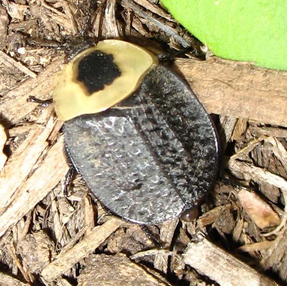 What is it? - Necrophila americana