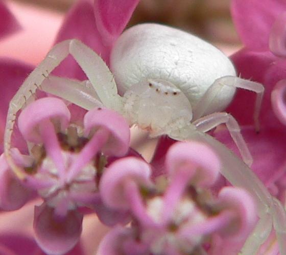 Misumena vatia - female