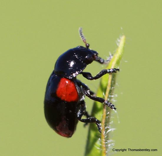 Beetle - Babia quadriguttata