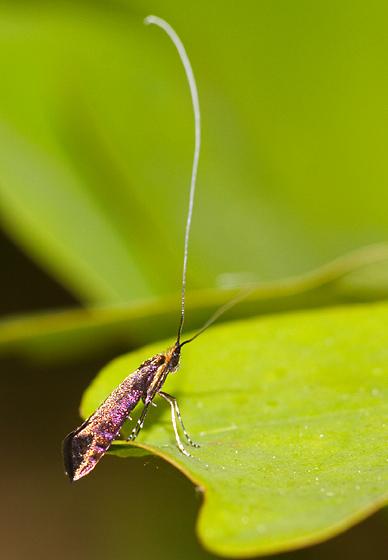 Moth ID - Adela caeruleella - male