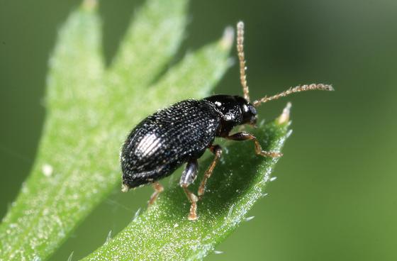 Beetle - Epitrix cucumeris