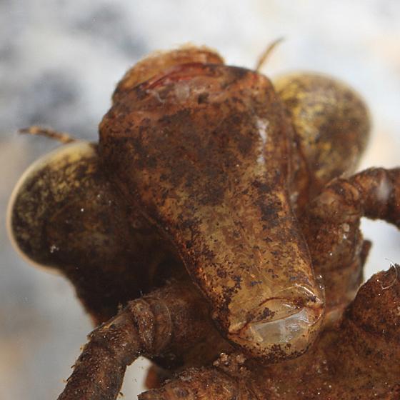 Dragonfly larva - Boyeria vinosa