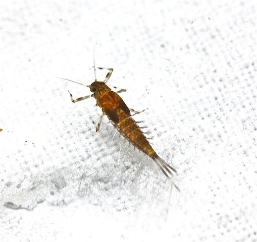 Baetidae, Baetis intercalaris - Baetis intercalaris