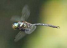 Emerald - Somatochlora hineana - male