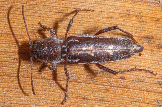 long horned beetle - Xylotrechus sagittatus - female