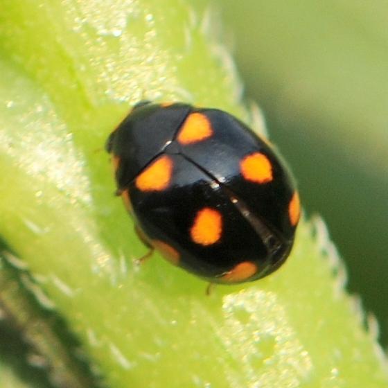Orange-spotted Lady Beetle (Brachiacantha ursina) - Brachiacantha ursina