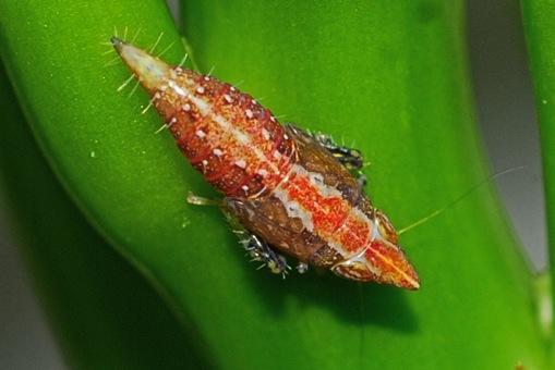 cicadellidae nymph? - Scaphytopius