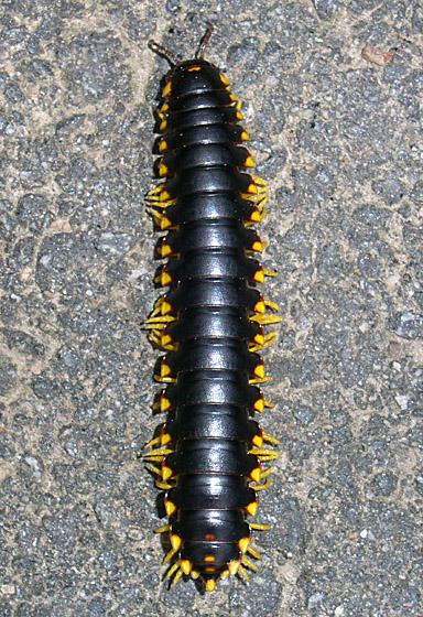 Genus or species? - Apheloria tigana