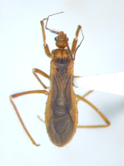 Oncerotrachelus acuminatus