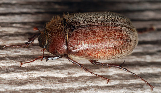 may beetle - Phyllophaga crenulata