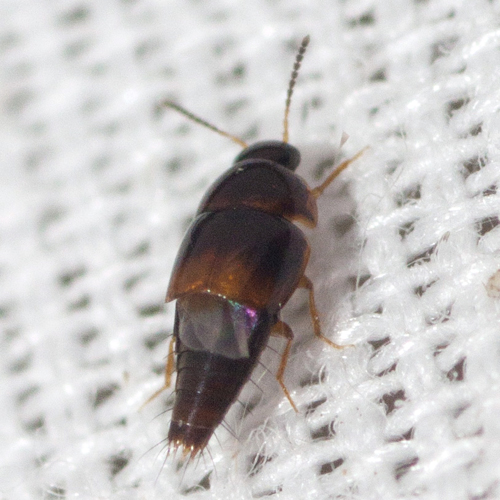 Crab-like Rove Beetle - Coproporus