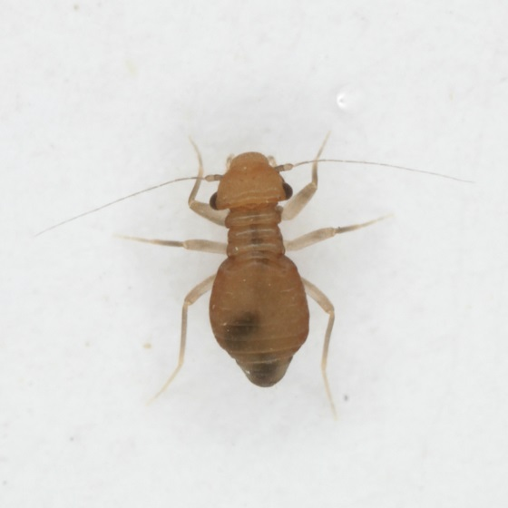 Pachytroctes neoleonensis Garcia-Aldrete 1986 - Pachytroctes neoleonensis - female