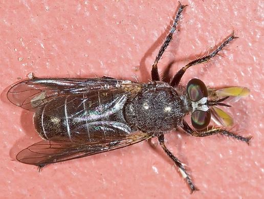 6024397 - Atomosia melanopogon