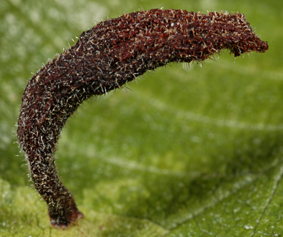 Gall on elm leaf - Kaltenbachiella ulmifusa