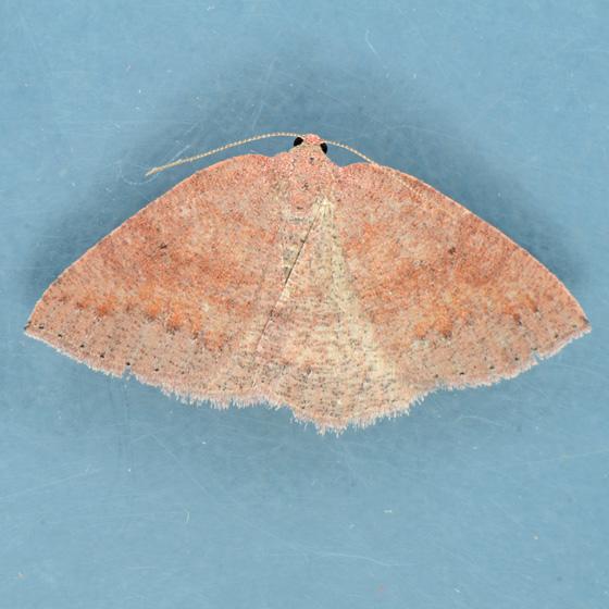 6692  - Drepanulatrix monicaria - female