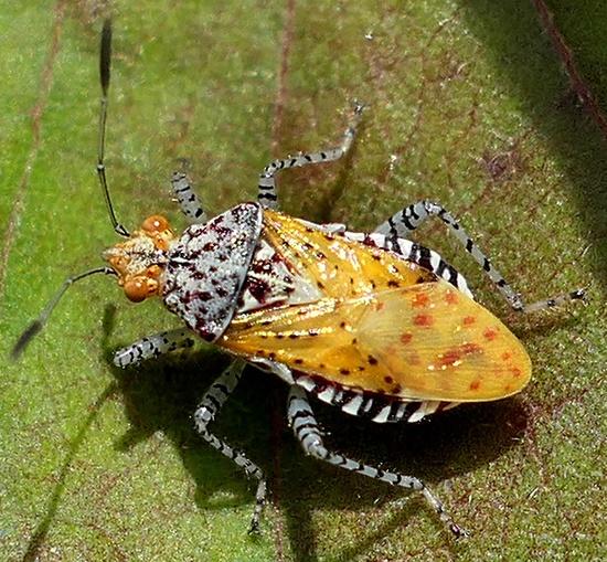 bug - Niesthrea louisianica
