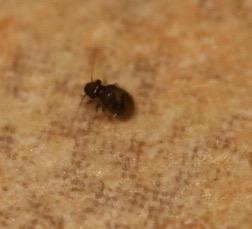 Tiny bug in house - Lepinotus reticulatus