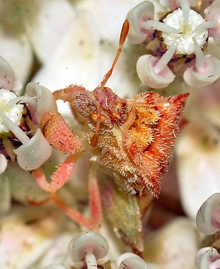 Fuzzy Phymata on milkweed - Phymata rossi