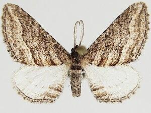 Lithostege deserticola - Hodges #7633 - Lithostege deserticola - male