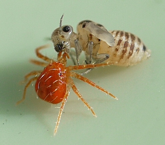mite with nymph - Anystis