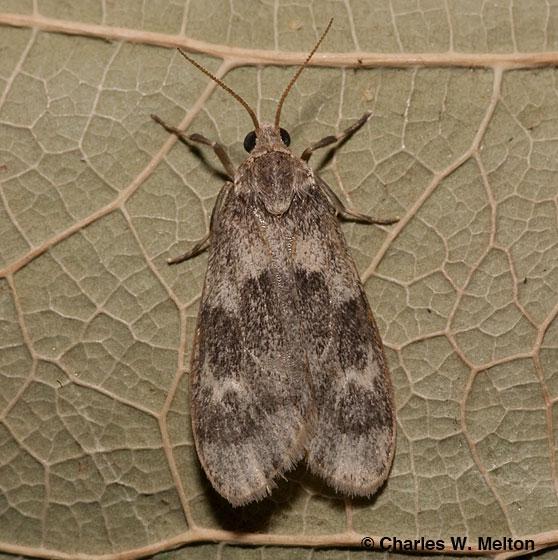 Moth - Bruceia hubbardi