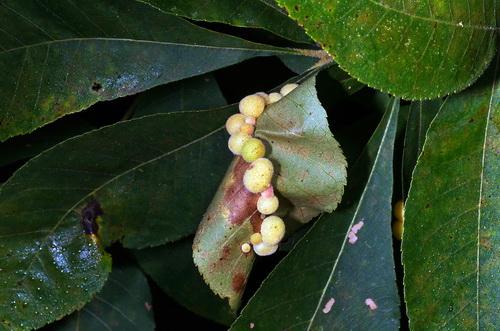 Eggs - Phylloxera