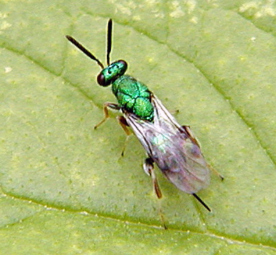 Green Chalcid - Torymus - female