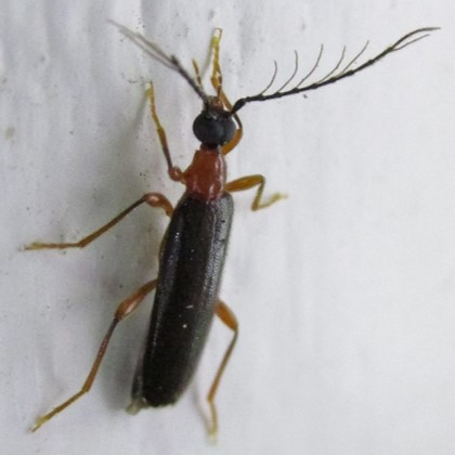 beetle - Dendroides canadensis - male