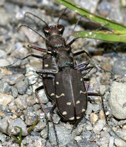 Twelve-Spotted Tiger Beetle - Cicindela duodecimguttata