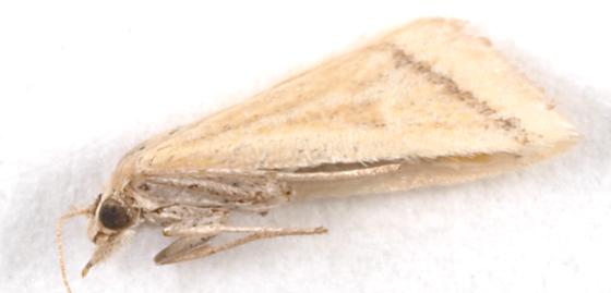 Moth to blacklight - Microtheoris vibicalis