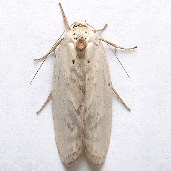 Antaeotricha Moth - Antaeotricha manzanitae