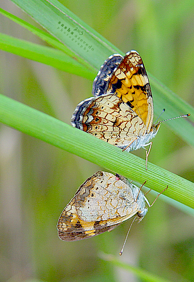 Pearl Crescents - mating - Phyciodes tharos - male - female