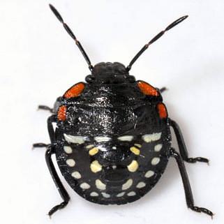 Insect found in classroom - Nezara viridula