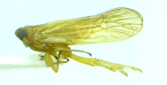 Delphacodes basivitta - Isodelphax basivitta