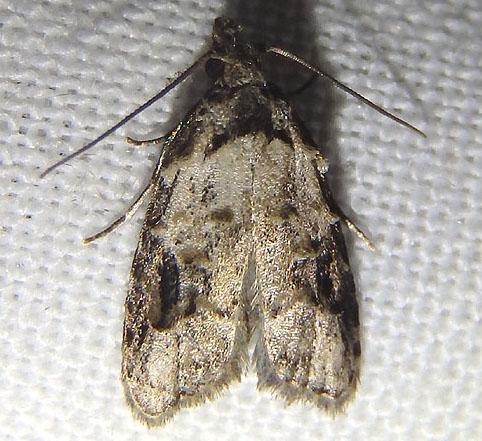 Fruitworm moth - Carposina fernaldana