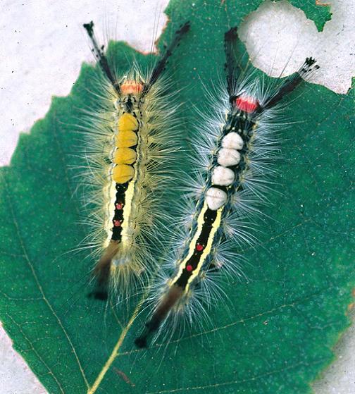 White-Marked Tussock Larvae 5th Instar - Orgyia leucostigma