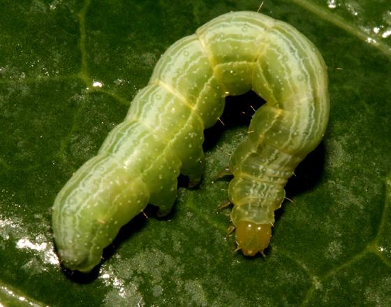 Noctuidae, larva - Trichoplusia ni
