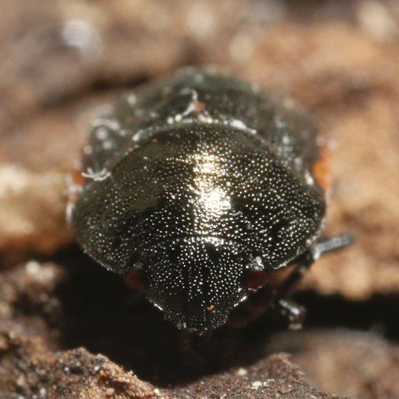 Corimelaena species? - Corimelaena