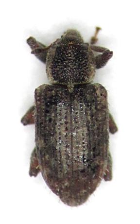 Listronotus humilis - female