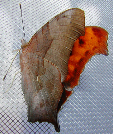 Questionmark Butterfly (wings closed) - Pologonia interrogationis