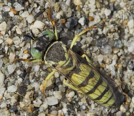 Ground Nesting Wasp - Microbembex - female