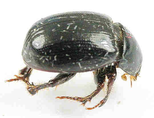 Coleoptera--? - Hybosorus illigeri