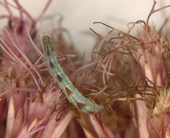 Geometridae - Eupithecia miserulata