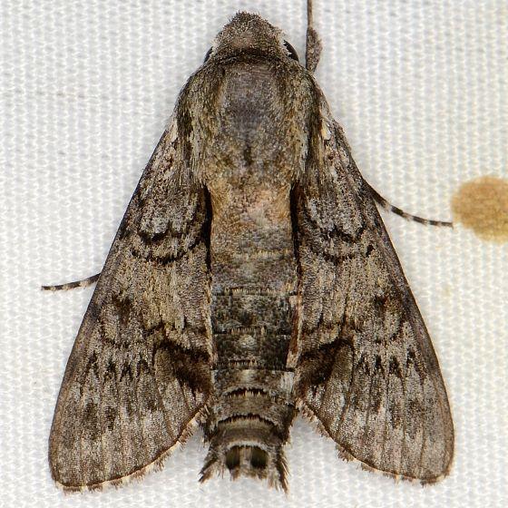 Grote's Sphinx Moth - Cautethia grotei