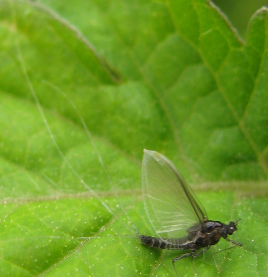 Mayfly - Tricorythodes explicatus